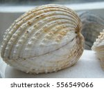 Small photo of Shell Acanthocardia echinata