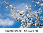 Spring White Blossom Against...