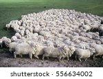 Stud Merino Sheep At A New...