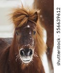 red shaggy pony standing on the ... | Shutterstock . vector #556639612