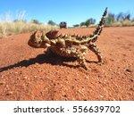 An Australian Thorny Devil...