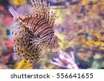 Lionfish  Pterois Miles  Also...