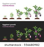 eggplant growth. aubergine... | Shutterstock .eps vector #556680982