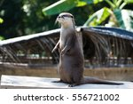 A Cute Small Clawed Otter
