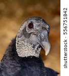 Small photo of American black vulture (Coragyps atratus) bokeh background. Closeup shows details of head, neck and eye. Vertical orientation