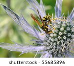 Paper Wasp On Sea Holly Flower