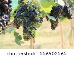 fresh grapes in vineyard | Shutterstock . vector #556902565