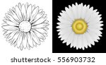 Daisy Flower On White And Blac...