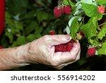 Harvest Raspberries On The Bush
