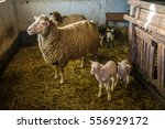 sheep with cute lambs in a barn   Shutterstock . vector #556929172