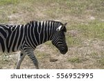 zebra  | Shutterstock . vector #556952995