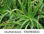 candelabra aloe  aloe... | Shutterstock . vector #556983832