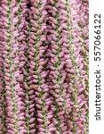 areca catechu nut tree in the... | Shutterstock . vector #557066122