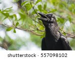 Raven Crow Bird. Bird Black...