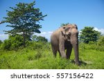 Asian Elephant Walking On The...
