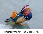 The Mandarin Duck  Aix...