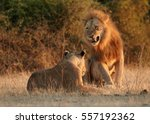 southwest african lion or... | Shutterstock . vector #557192362