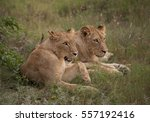 Two Lionesses  Transvaal Or...