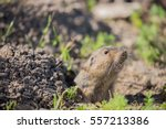Small photo of Botta's Pocket Gopher - Thomomys bottae