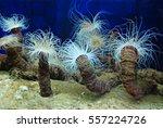 Small photo of Sea actinia, underwater life, ocean aquarium, anemona