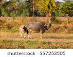 thai buffalo in the field  | Shutterstock . vector #557253505