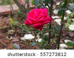 Stock photo red roses in the garden with water droplets on the petals 557273812