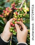Small photo of harvesting coffee berries by agriculturist hands
