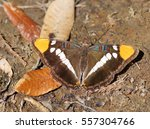 Small photo of California Sister, Adelpha californica Butterfly
