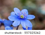 Hepatica Flower In Early Spring