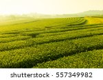 tea plantation landscape sunset | Shutterstock . vector #557349982