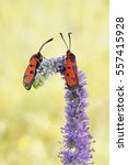 Small photo of Two Bloodword burnet moth (Zygaena laeta) rest in the flower
