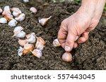 hand planting garlic in the... | Shutterstock . vector #557443045