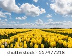 Tulip Field With Yellow Tulips...