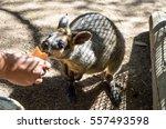 Feeding The Wallaby