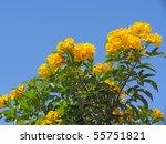 Small photo of Yellow flowers of Bush allamanda (Allamanda schottii) against blue sky