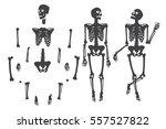 human skeleton. black on white. ... | Shutterstock .eps vector #557527822