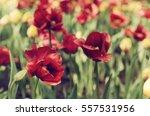 Red Beautiful Tulips Field In...