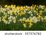 Yellow And White Daffodils ...