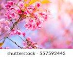 sakura flowers blooming blossom ... | Shutterstock . vector #557592442
