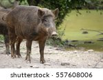 wild boar  sus scrofa  standing ...   Shutterstock . vector #557608006