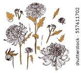 japanese chrysanthemum set.... | Shutterstock .eps vector #557611702