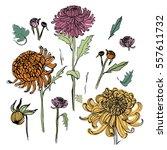 japanese chrysanthemum set....   Shutterstock .eps vector #557611732