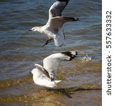 beautiful white seagulls of the ... | Shutterstock . vector #557633332