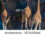 Back View Of Tree Giraffes....