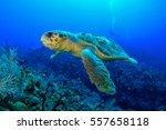 Loggerhead Turtle.