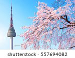 seoul tower and pink cherry... | Shutterstock . vector #557694082