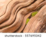 smooth worn tree root with wavy ... | Shutterstock . vector #557695342