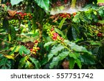 coffee beans ripening on tree   ... | Shutterstock . vector #557751742