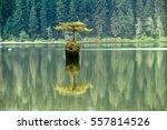 famous fir bonsai   amazing... | Shutterstock . vector #557814526