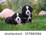 Two Bernese Puppies Posing...